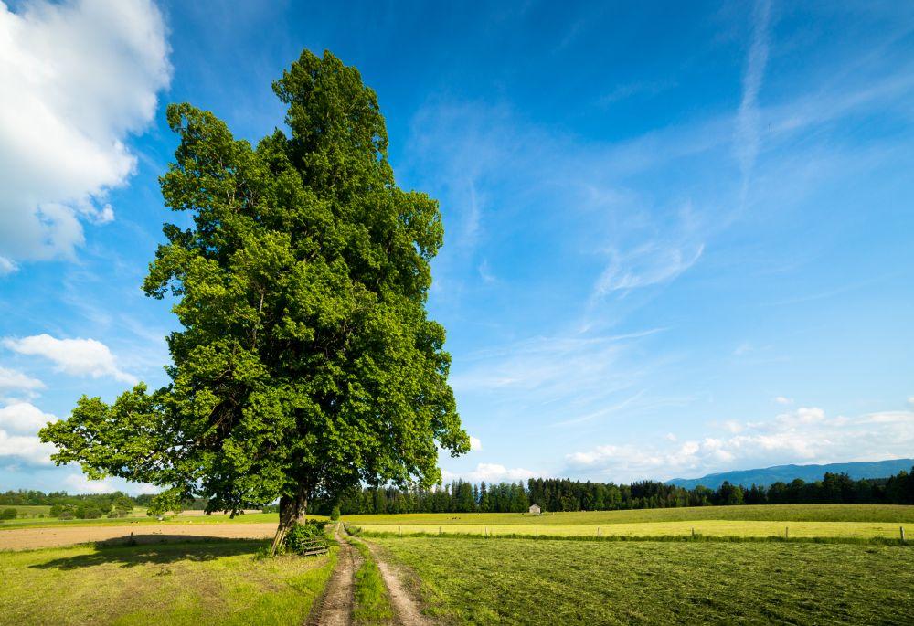 Lime Tree in Fields