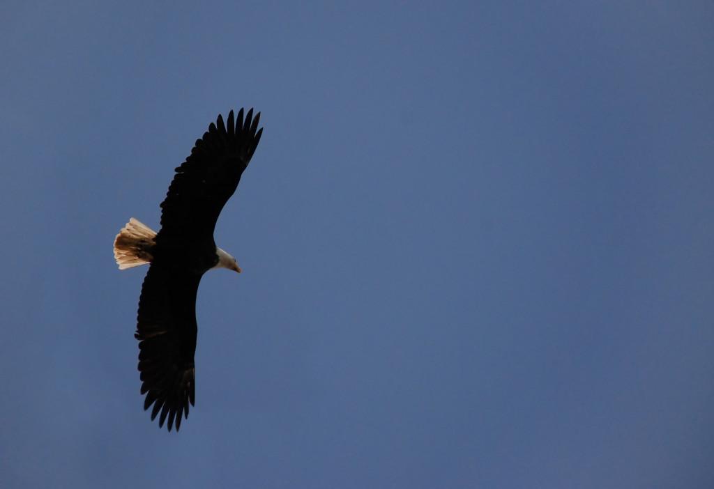 Esmakordselt tehti Eestis vereülekanne lindude vahel