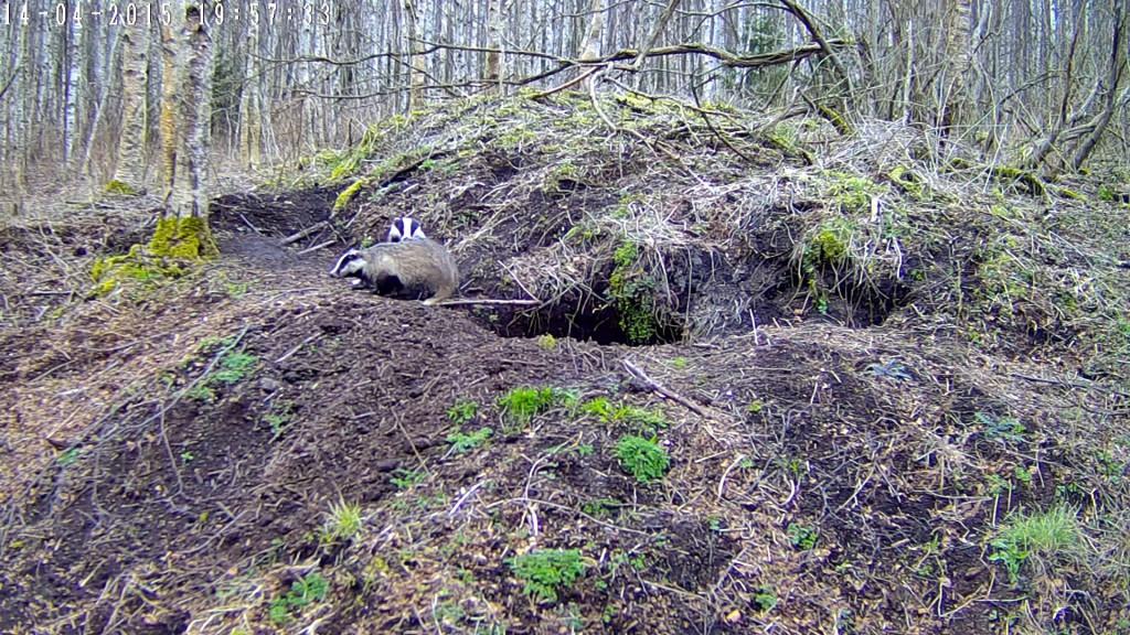 VAHVA! RMK looduskaamera jälgib pisipere ootel mägrapaari