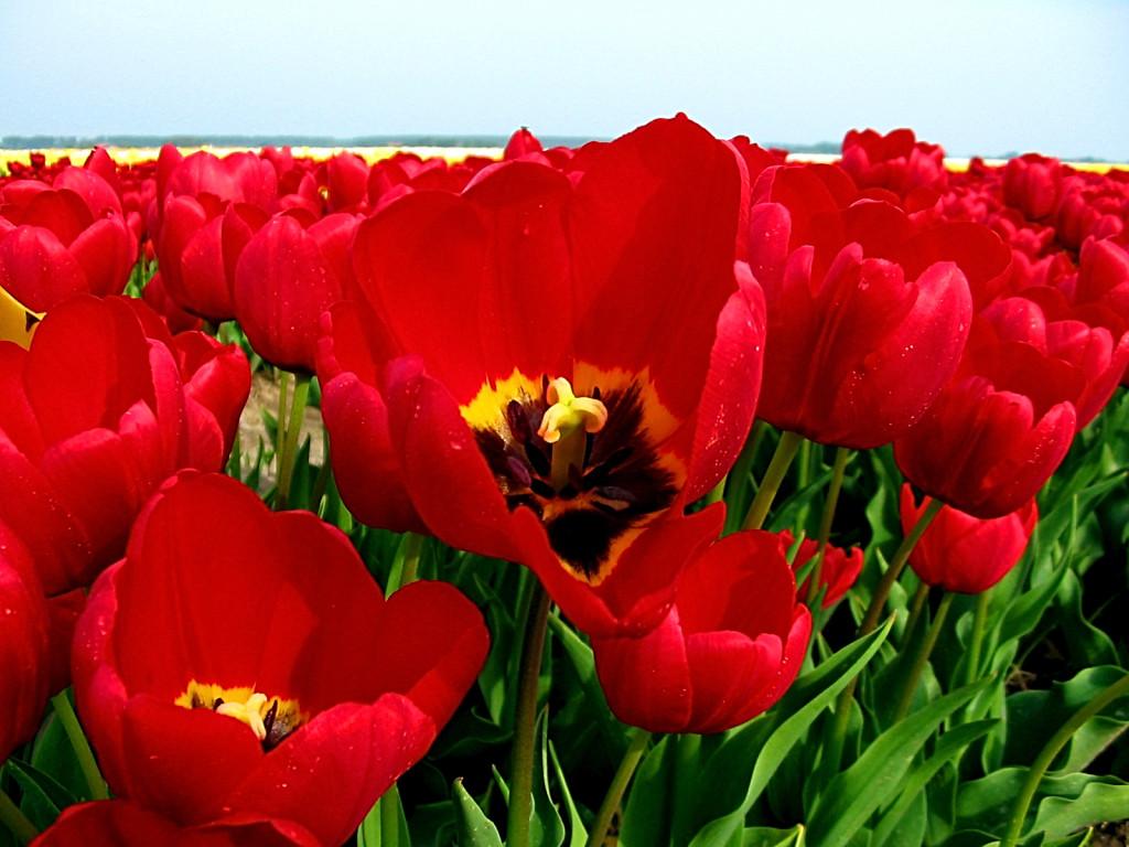 Botaanikaaias esitletakse kevadisi sibullilli