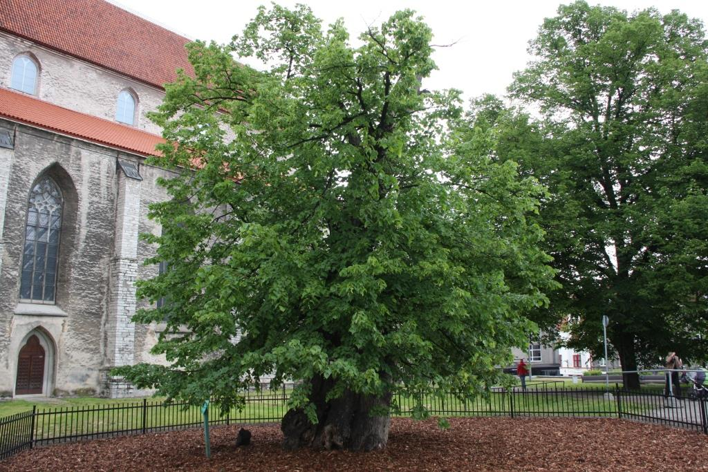 Tallinnale omistati  tiitel Euroopa puu-pealinn 2015