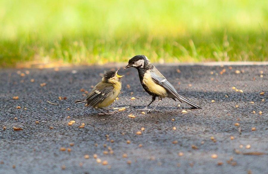 ÕPETUS! Mida teha leitud linnupojaga?