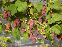 Viinamarjade-näitus-Tallinna-botaanikaaias.jpg