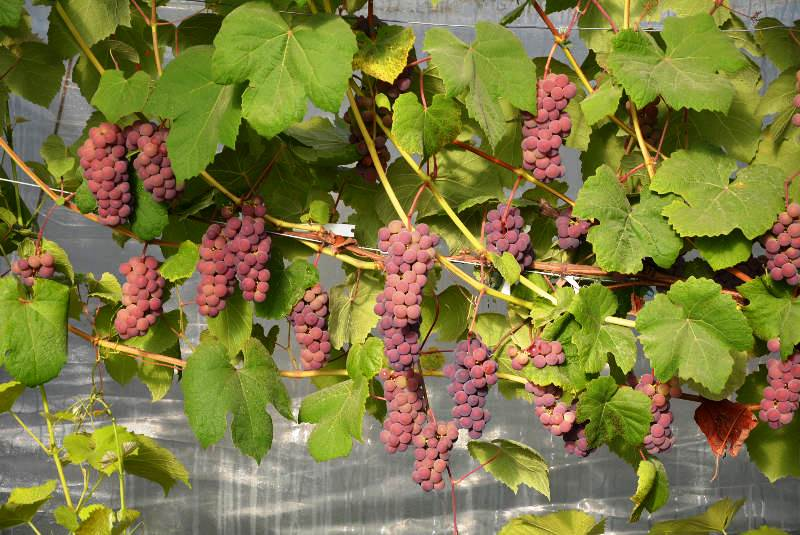 Viinamarjade näitus Tallinna botaanikaaias