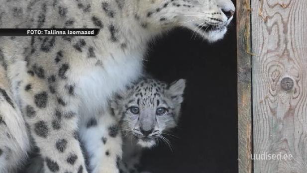 VAATA TV3 VIDEOT! Väike lumeleopard sai endale nime