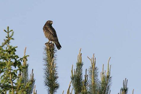 VIU-UUDISED! Aasta lindu saab jälgida looduses ja netis