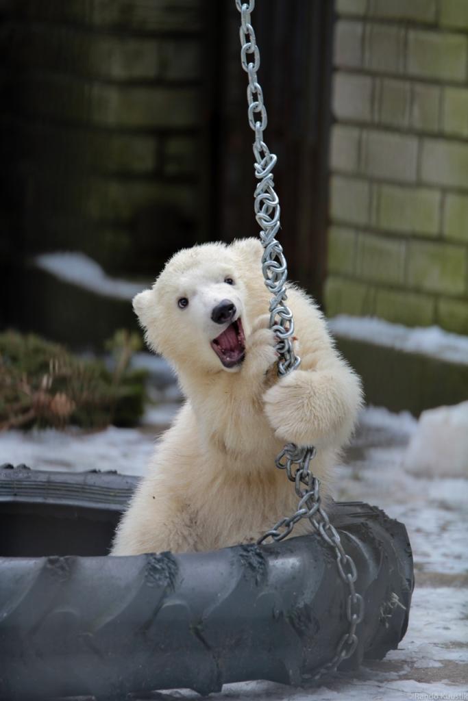 NUNNUMEETER PÕHJAS! Karmid kiskjad jääkarud on tegelikult lapsikud mängijad