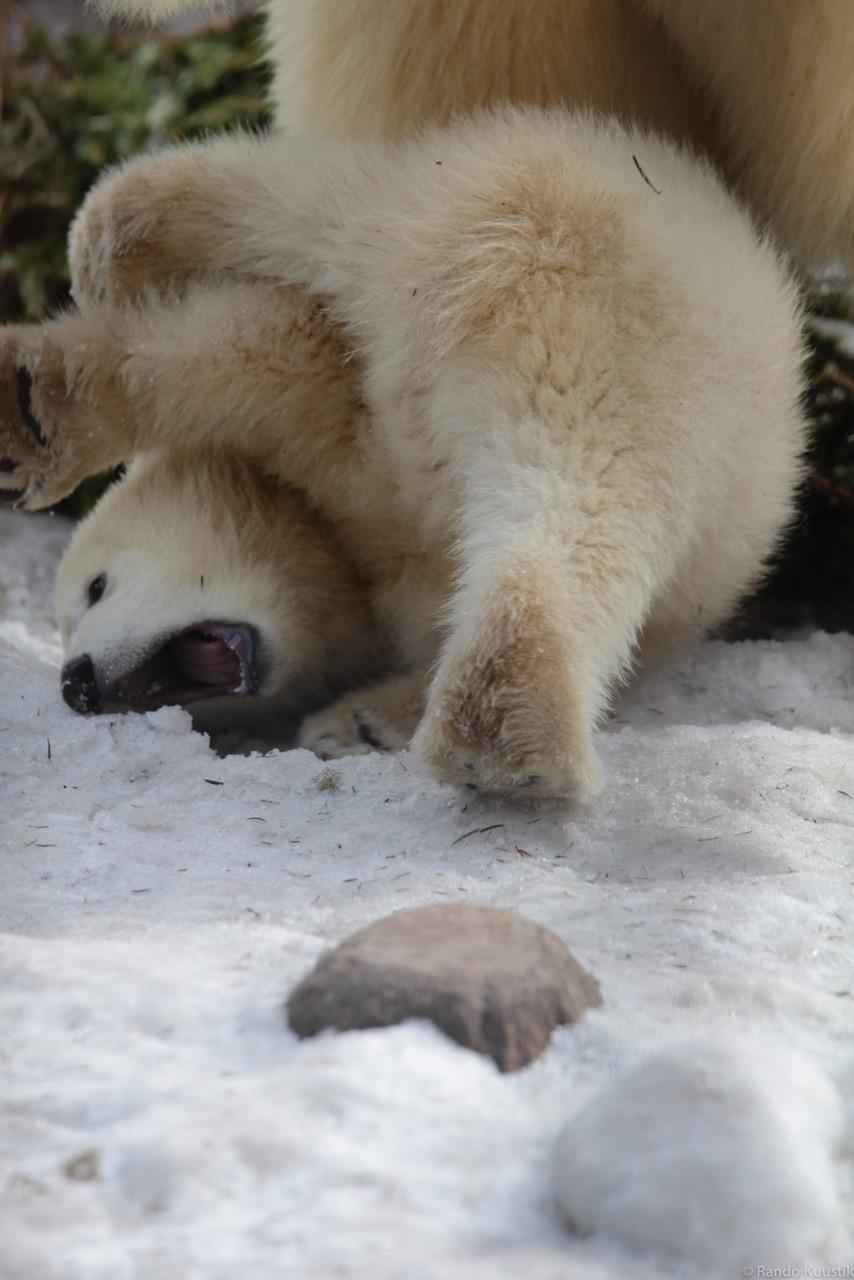 Jääkaruplika_2