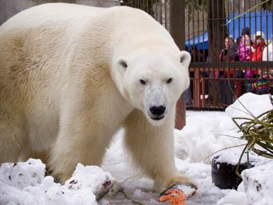 Jääkaru Nord Foto: Maaja Kitsing