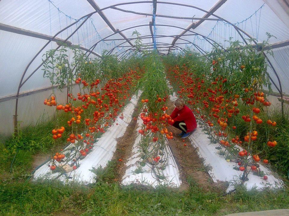 Marimarta tomatimaja