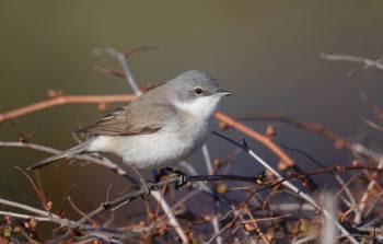 OSALE LINNUVAATLUSTES! Maikuu toob kaasa kaks linnuloendust