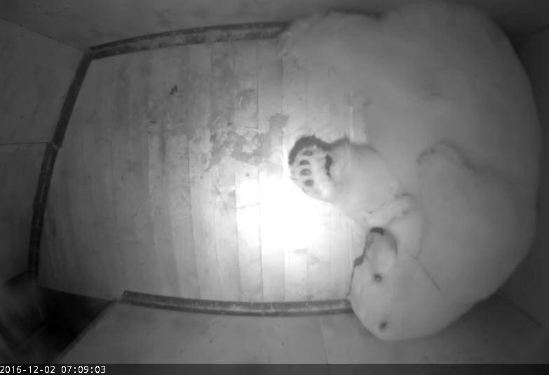 LISA KARUPERELE! Tallinna loomaaia jääkarudele lisandus taas pisiperet