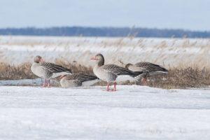 Hallhaned linnuvaatlusel haapsalus Foto: Tarvo Valker