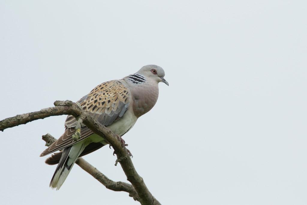 OTSI TURTELTUVISID! Linnuhuvilisi kutsutakse aasta lindu otsima