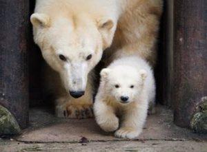 Jääkaru Friida koos 3-kuuse pojaga Foto: Inari Leiman