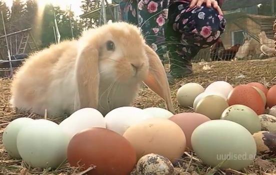 Video! Järvamaa talus munevad kanad värvilisi mune