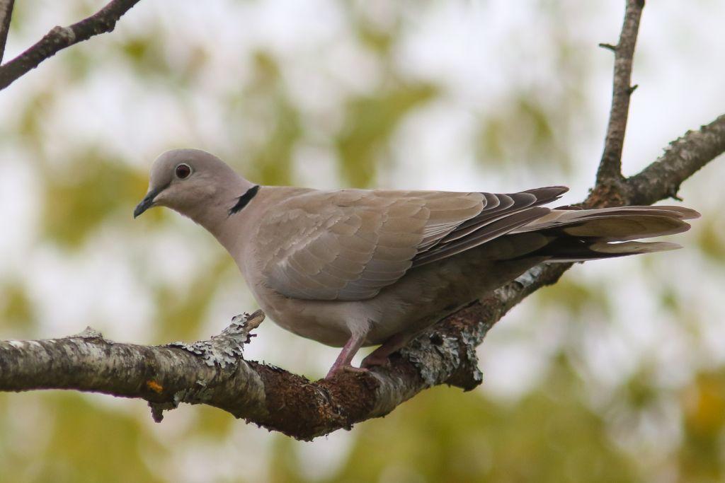 PÕNEVAD VAATLUSED! Linnuvaatluspäevadel nähti ka aasta lindu kaelus-turteltuvi