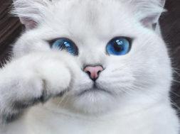 Kallista kassi