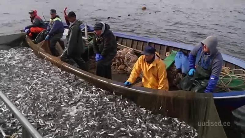 Video! Kihnu kalurid avasid räimepüügi hooaja