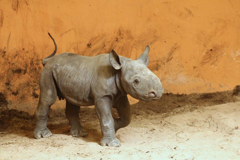 Loomaaias sündis esimene ninasarvikubeebi