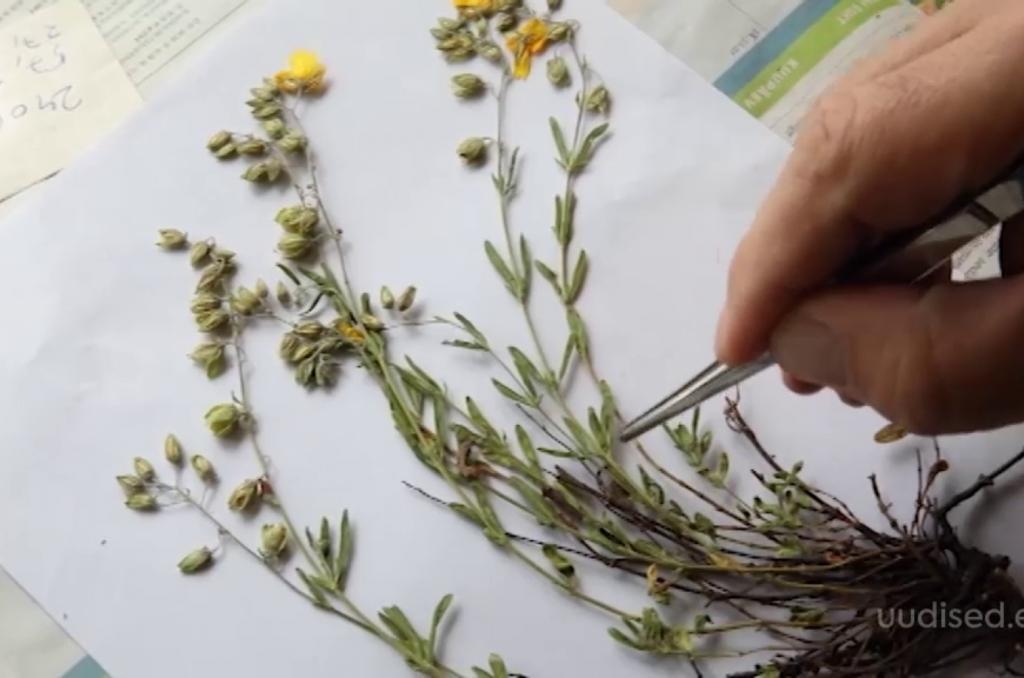 VIDEO! Eesti on ühe taime võrra rikkam! Botaanikule ilmutas end ovaalne kuldkann