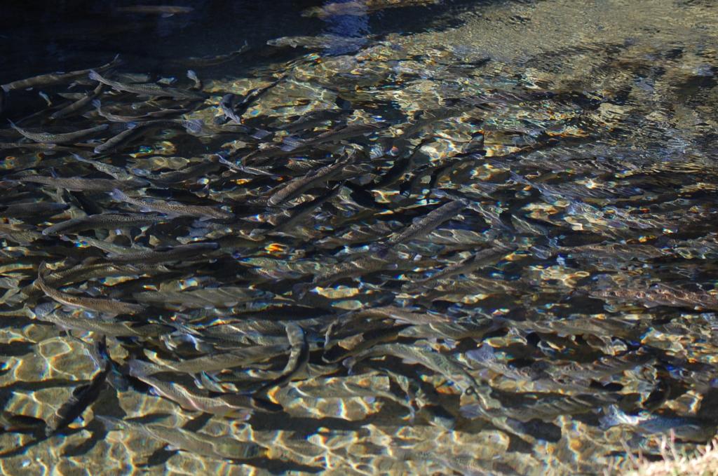Kokku üle 106 000 noorkala! RMK Põlula kalakasvandusest asustati jõgedesse lõhe ja meriforelli noorkalu