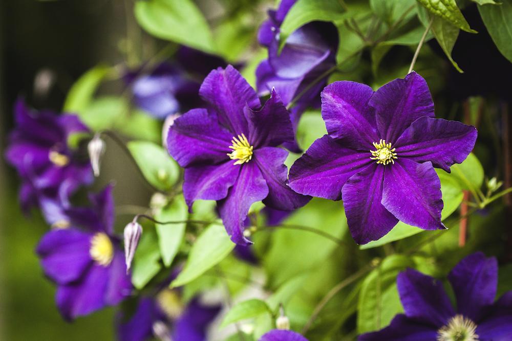 Tallinna Botaanikaaed kutsub tutvuma püsilillede ja elulõngadega