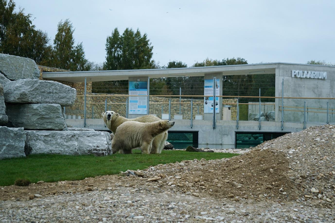 PALJU ÕNNE JÄÄKARUDELE! Loomaaias tähistatakse kolme jääkaru sünnipäeva
