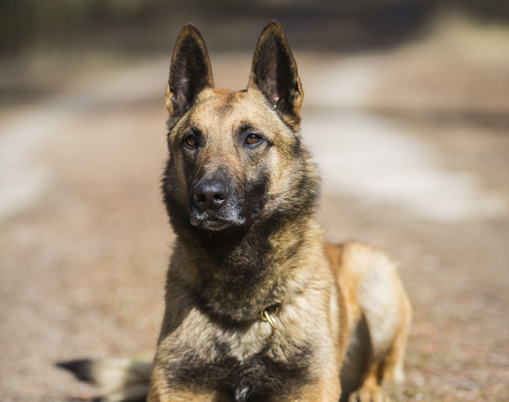 ELUPÄÄSTJA! Politsei teenistuskoer Nacho päästis inimelu