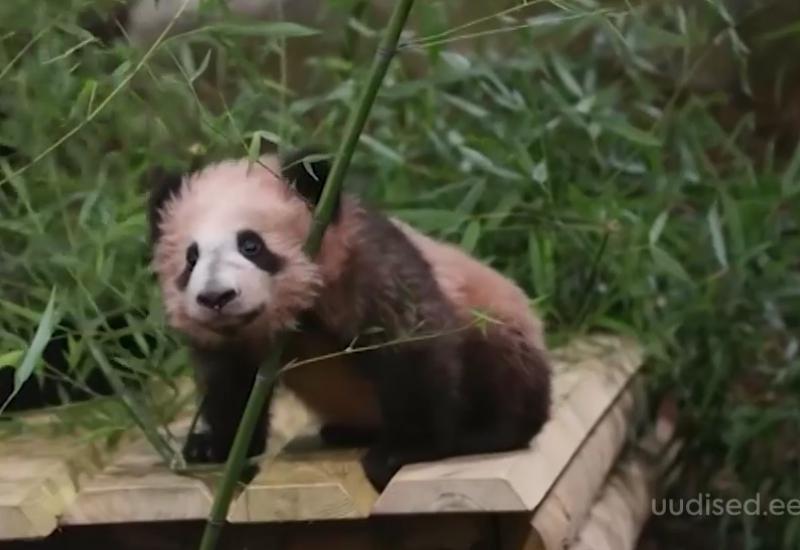 Video! Prantsusmaa loomaaias rõõmustab külastajaid väike pandapoiss