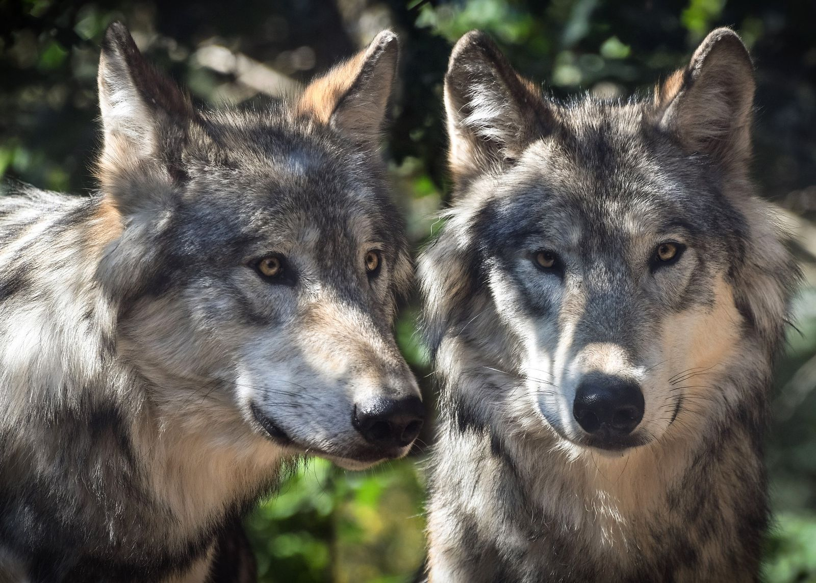 HUNTIDE KAITSEKS! Norra looduskaitsjad kutsuvad rahvusvahelist üldsust üles kaitsma Norra hunte