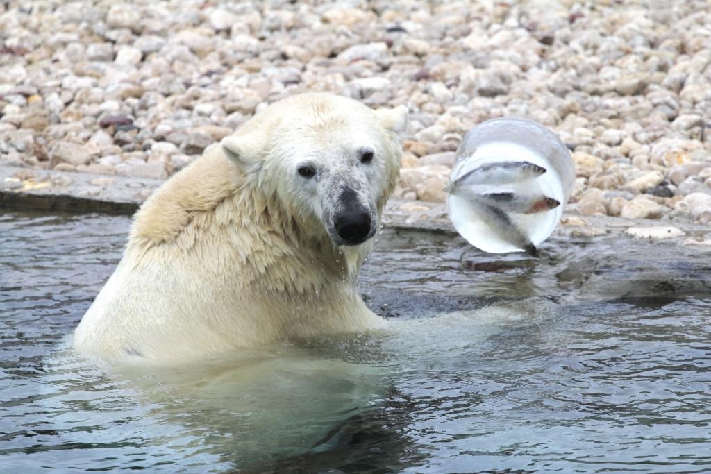 VIDEO I Tallinna Loomaaia jääkarud naudivad ootamatult tekkinud talvemõnusid