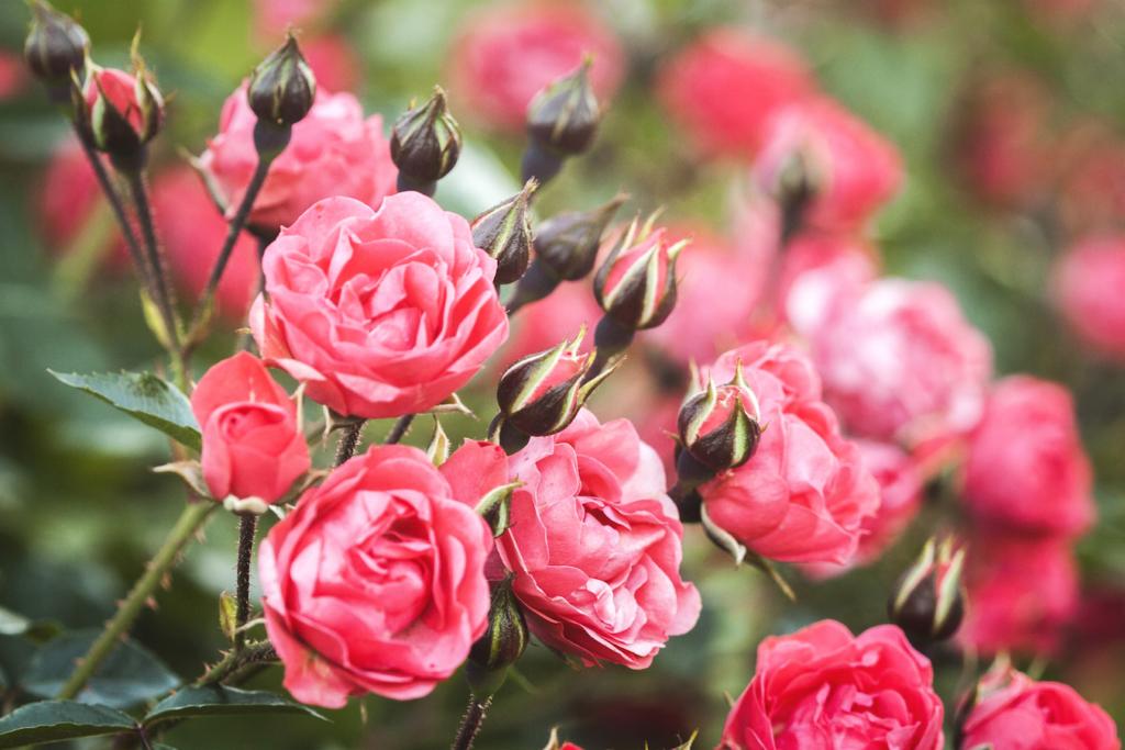 Nädalavahetusel toimuvad Tallinna Botaanikaaias roosipäevad