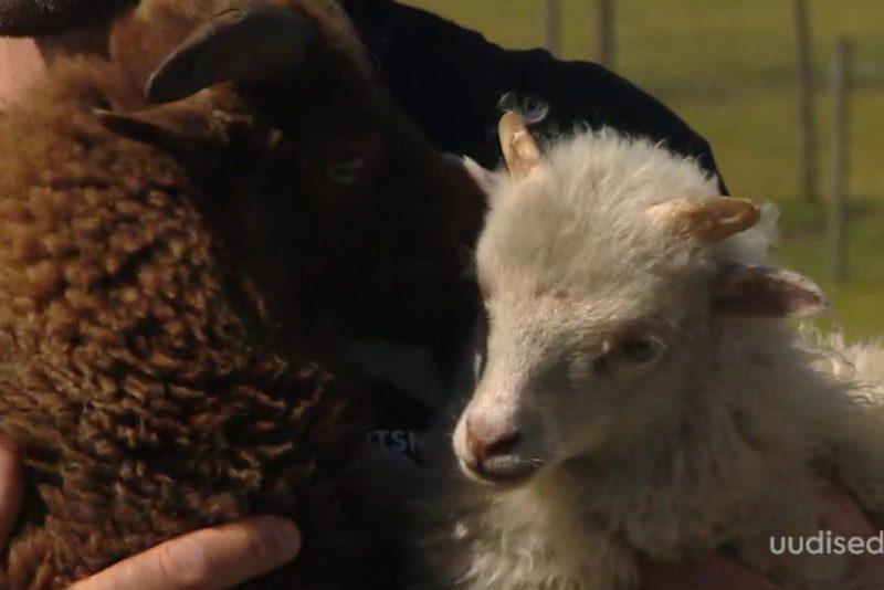 VIDEO! Avatud talude päev: Roosi ja Roosa minilamba talu