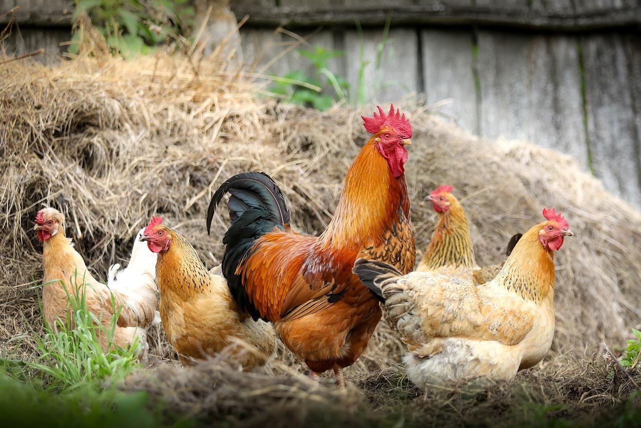 VIDEO! Oluline! Kuidas teada, kas munad on vabakasvatuse kanade munad?