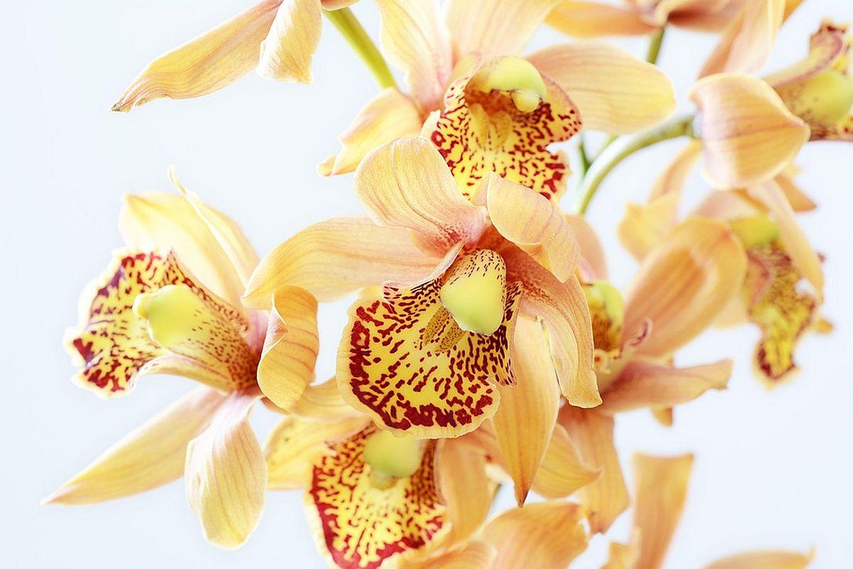 Botaanikaaia orhideepäevadel saab orhideesid osta