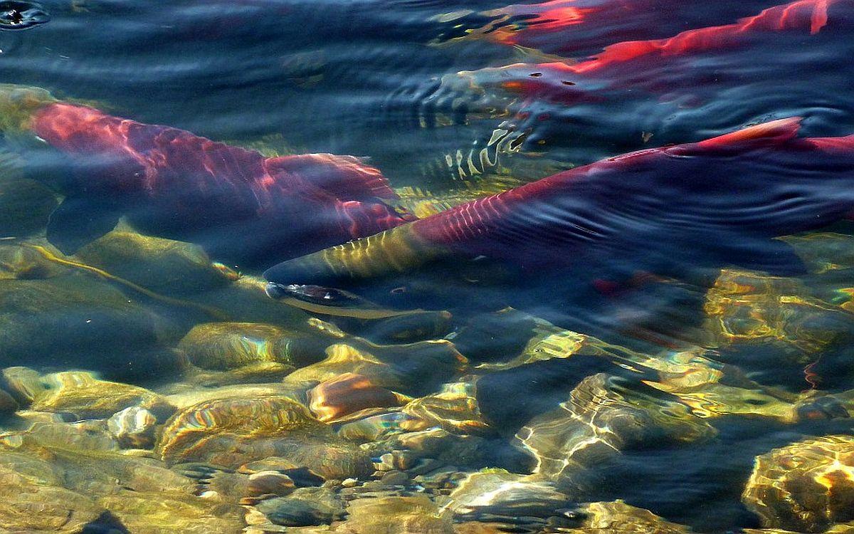 RMK Põlula kalakasvandusest asustati jõgedesse lõhe, siia ja tuura noorkalu
