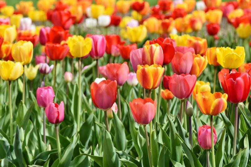 VIDEO! Tõeline värvide pidu! Startis Türi lillelaat