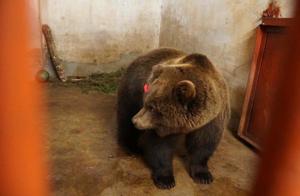 KUULUS KARU I Vene Föderatsioon avaldas karu Proša päästmise eest Eestile tänu