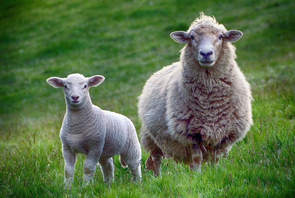 VIDEO I Täiega vahva! Viljandi lossimägede küngastel on muruniitjateks 15 toredat lammast