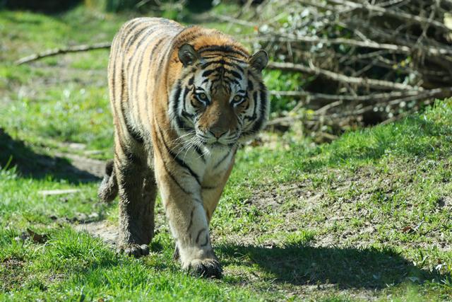 TÄIEGA VAHVA! Tallinna loomaaia amuuri tiiger Pootsman sai taas kolme kutsika isaks