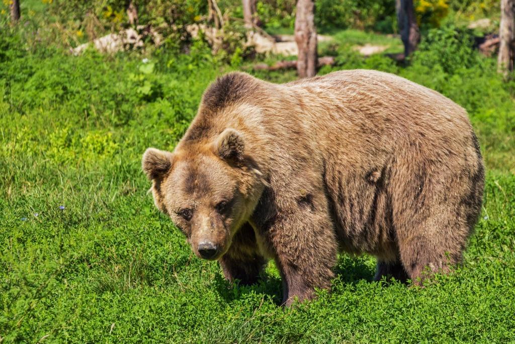 Loodusfotograafid: karu ei ole agressiivne loom, keda metsa minnes kartma peab