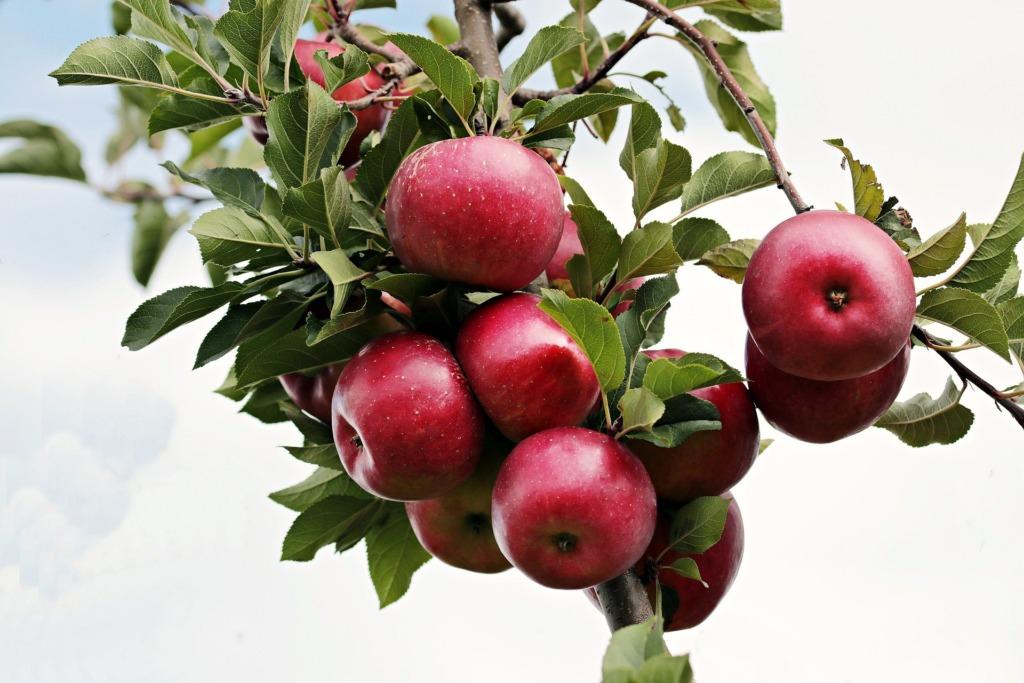 Õunapuu.Pixabay