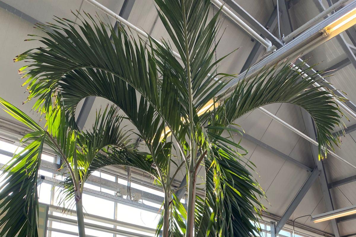 Botaanikaaia palmimajja jõuab hiigelsuur nääripalm