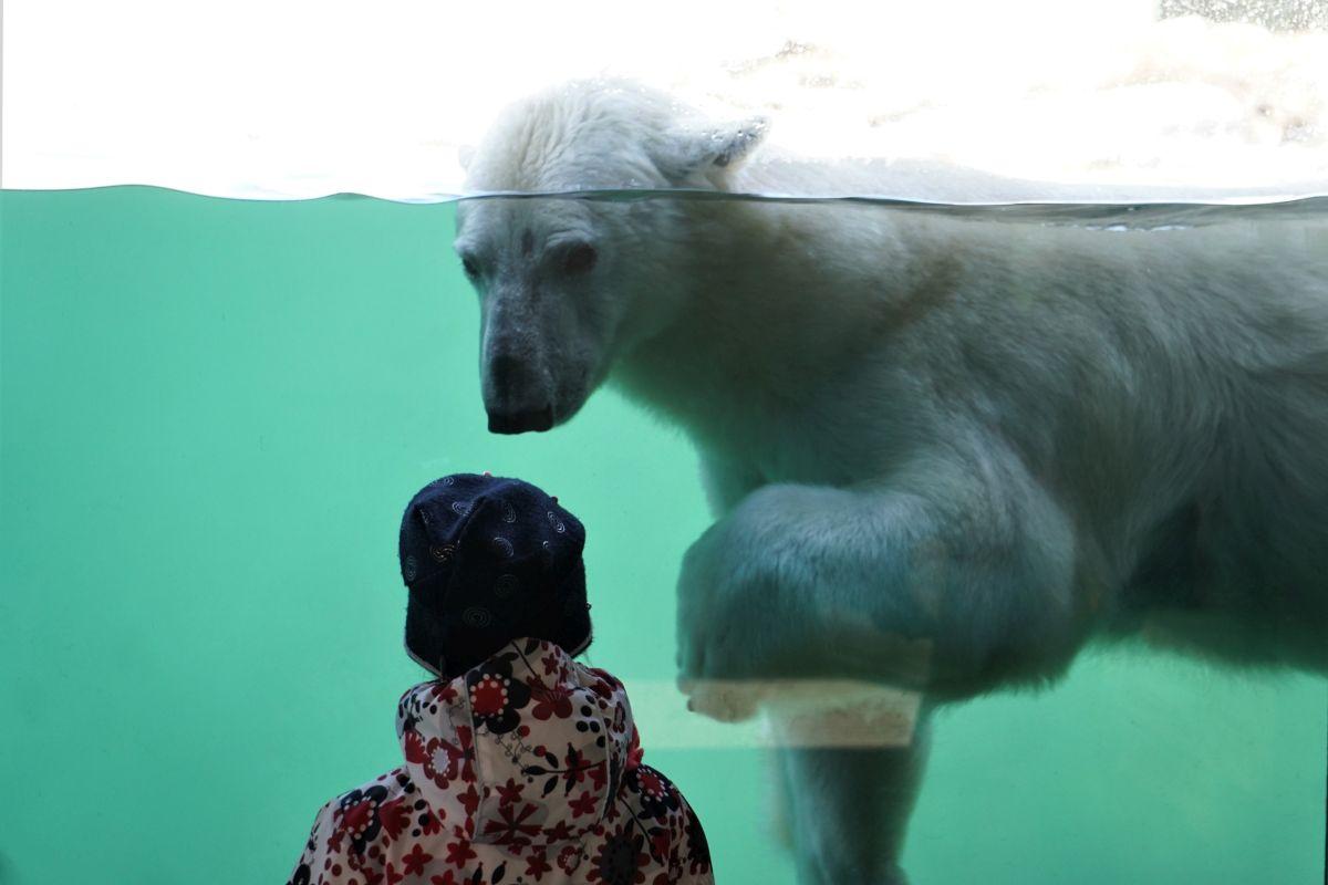 Jääkaru Aron alustas teekonda La Fleche'i loomaaeda