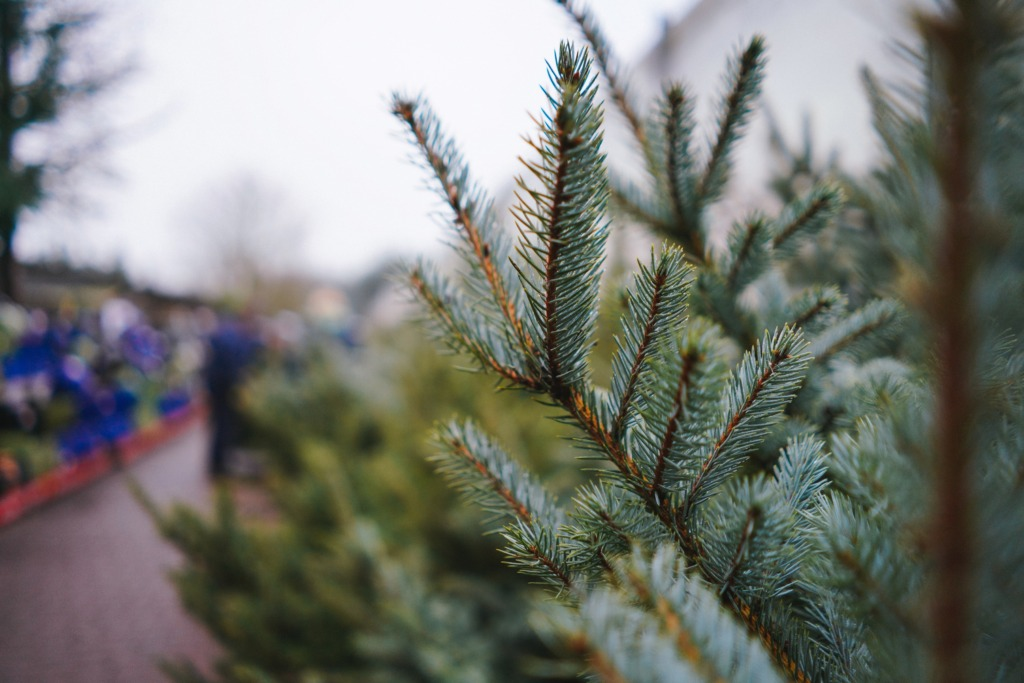 Tallinnas tehakse jõulukuuskedest hakkepuitu