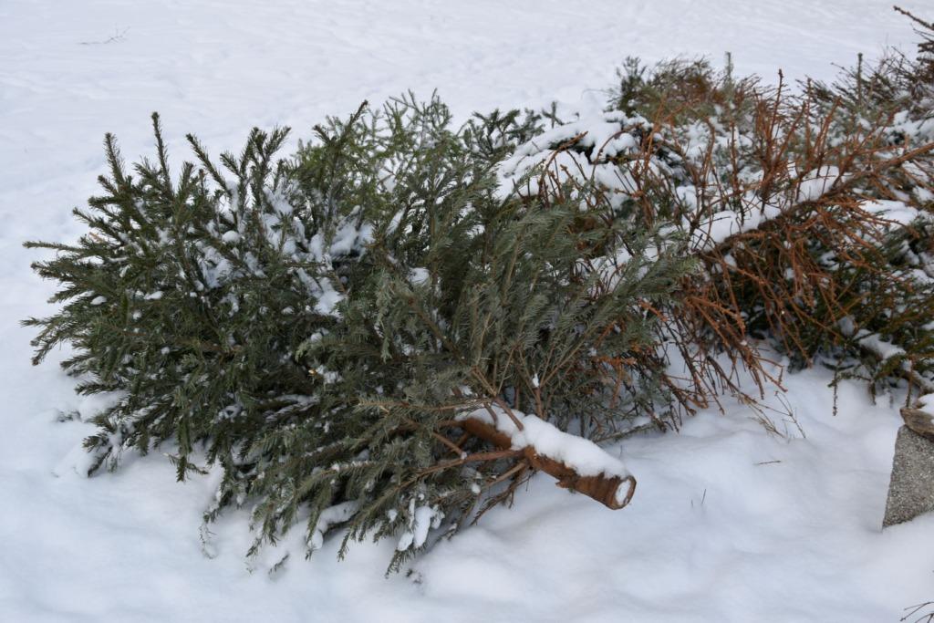 Vanad jõulukuused lumes