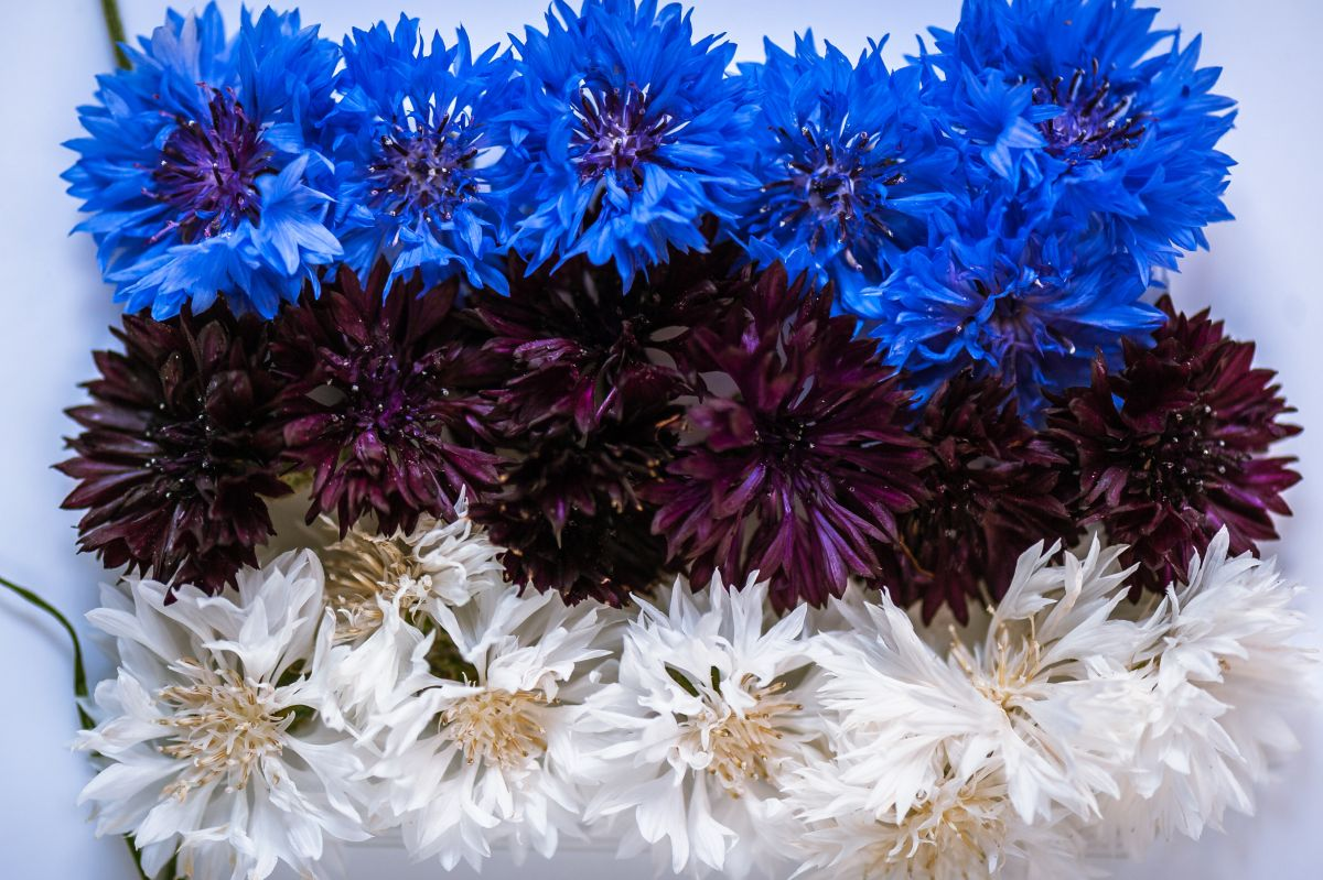 Abstract,Flag,Of,Estonia,Made,Of,Cornflower,Flowers,With,White