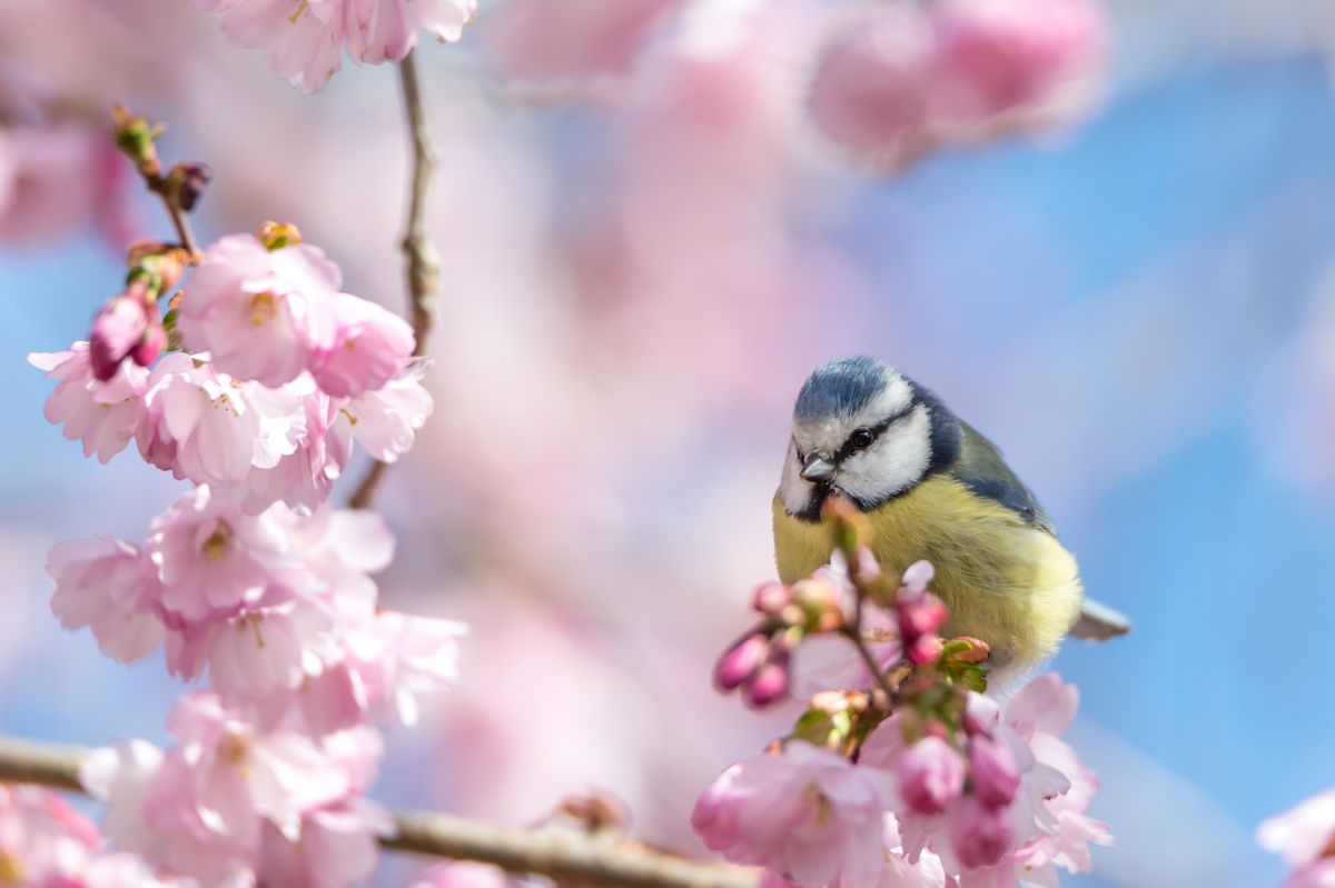 A,Blue,Tit,Sits,On,A,Beautiful,Branch,With,Cherry