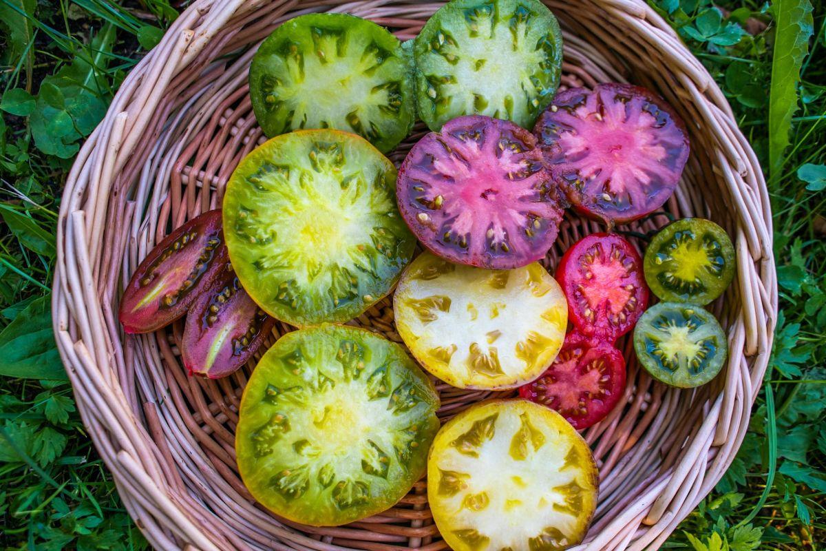 Botaanikaaias esitletakse nädalavahetusel üle 200 sordi tomateid